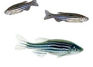 Zebrafish1-1-1